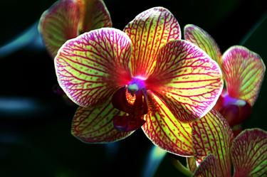 Kaleidoscope Orchid